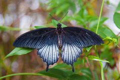 Large black swallowtail butterfly on green leaf Royalty Free Stock Photography