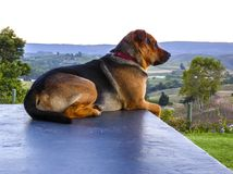 Large Black and Tan dog, with red collar, sitting on wall. Overlooking valley of vineyards, facing right. South Africa stock photography