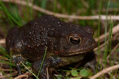 Large black toad Royalty Free Stock Images
