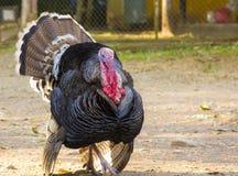 Large black turkey in the republic of Honduras