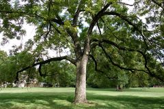 Large Black Walnut Tree. A beautiful black walnut tree with wide splayed branches all on its own in a park giving deep shade on this hot summer day stock image