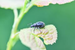 A large black weevil sits on the leaves of the plant. Horizontal photography stock images