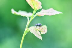 A large black weevil sits on the leaves of the plant. Horizontal photography stock photography