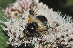 Large Black & White Hoverfly Stock Photo