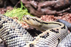 Large with black and yellow spots,rattlesnake snake Royalty Free Stock Photography