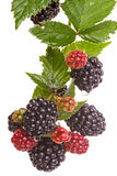 Large blackberry on a branch Stock Photo