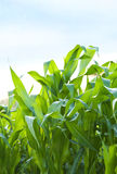 Large blades of grass Stock Images
