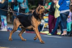Excited hound dog searching for a scent. Large bloodhound dog with big floppy ears, pulling on leash during street parade Stock Images