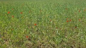 Large blooming field with lots of poppy flowers and spikelets. A variety of herbs outside the city in the summer.  stock video footage