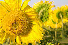 Large blooming sunflower close-up Stock Photo