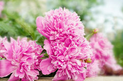 Large blooms of peony Stock Image