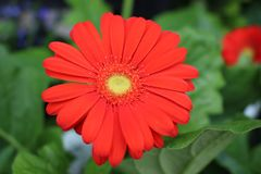 Large Blossomed Daisy like red flower in full bloom royalty free stock photo