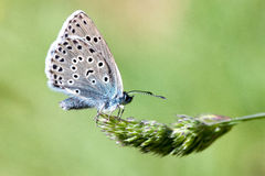 Large Blue butterfly Stock Photos
