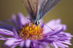 Large blue butterfly detail. Butterfly macro detail feasting with pollen from autumn purple aster flower Stock Images