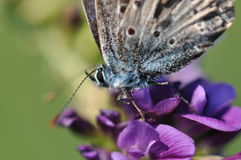 Large blue butterfly detail. Butterfly macro detail on a purple flower Royalty Free Stock Photography