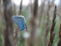 Large blue butterfly. Insect color season summer Royalty Free Stock Photography
