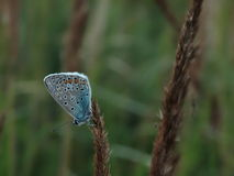 Large blue butterfly. Insect color season summer Royalty Free Stock Images