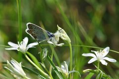 Large Blue Butterfly royalty free stock photography