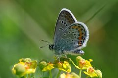 Large Blue Butterfly royalty free stock photo