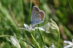 Large Blue Butterfly stock images