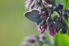 Large Blue Butterfly royalty free stock photos