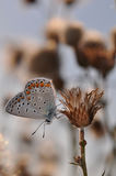 Large blue butterfly. Macro detail of Royal Blue Butterfly on a dried flower royalty free stock photography