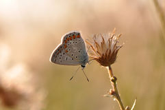 Large blue butterfly. Macro detail of Royal Blue Butterfly on a dried flower stock photography