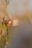 Large blue butterfly. Macro detail of Royal Blue Butterfly on a dried flower royalty free stock image