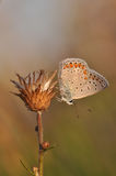 Large blue butterfly. Macro detail of Royal Blue Butterfly on a dried flower stock image