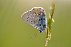 Large blue butterfly. Macro detail of Royal Blue Butterfly on a leaf royalty free stock photos