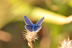 Large blue butterfly. Macro detail of Royal Blue Butterfly on a leaf stock photography