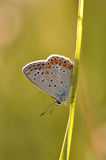 Large blue butterfly. Macro detail of Royal Blue Butterfly on a leaf royalty free stock images