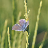 Large blue butterfly. Macro detail of Royal Blue Butterfly resting on grass seeds stock images