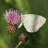 Large blue butterfly. Macro detail of Royal Blue Butterfly on a thistle flower stock photo