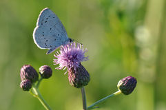 Large blue butterfly. Macro detail of Royal Blue Butterfly on a thistle flower royalty free stock image