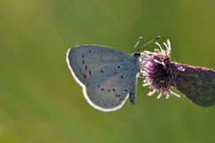 Large blue butterfly. Macro detail of Royal Blue Butterfly on a thistle flower royalty free stock photos