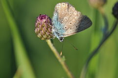 Large blue butterfly. Macro detail of Royal Blue Butterfly on a thistle flower royalty free stock photo