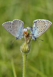 Large Blue Butterfly. Maculinea arion Stock Image