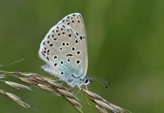 Large Blue Butterfly. Maculinea arion Royalty Free Stock Image