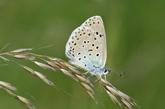 Large Blue Butterfly Royalty Free Stock Image