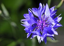 Large blue cornflower flower. On natural blurred dark green background royalty free stock photography