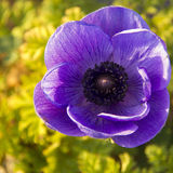 Large blue flower anemone, closeup Stock Image