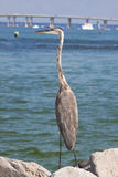 A large blue heron on the shore Royalty Free Stock Photography
