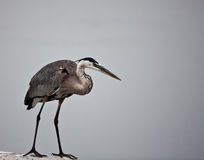 Large Blue Heron Wading Stock Image