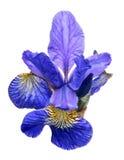Large blue iris bloom isolated on white Stock Photos