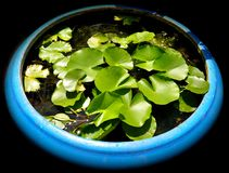 Large blue pot of water lilies stock images