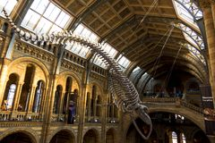 Large blue whale skeleton in the main hall of Natural History Museum. London, UK - March 19, 2018: Large blue whale skeleton in the main hall of Natural History royalty free stock photo