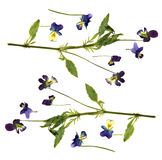 Large blue and white flowers pressed dry pansy Royalty Free Stock Image