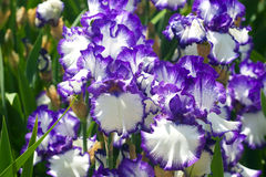 Large blue and white iris flower Stock Images