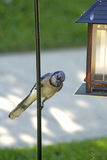 Large BlueJay sits near a feeder. Royalty Free Stock Photos